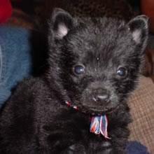 Puppyfind Schipperke Puppies For Sale
