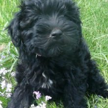 Puppyfind Schnoodle Puppies For