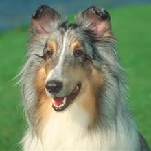 Shetland Sheep Dog Photos