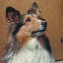 Shetland Sheepdog Photos