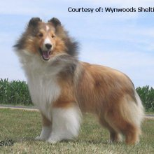 Puppyfind Sheltie Puppies For Sale