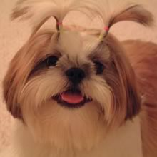 Shih Tzu Photos