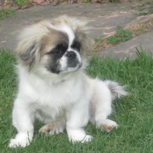 Peke A Tzu Photos