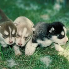 Siberian Husky Photo Gallery...