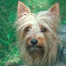 Silky Terrier Photos