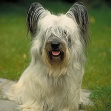 Skye Terrier Photos