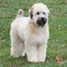 Puppyfind Soft Coated Wheaten Terrier Puppies For Sale