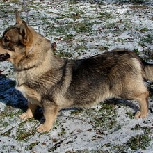 Swedish Cattle Dog Photos