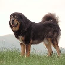 Tibetan Mastiff Photos