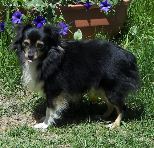 Toy Australian Shepherd pictures...