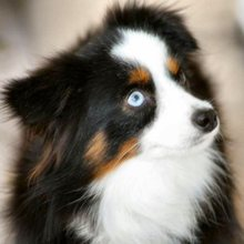 Toy Australian Shepherd Photos