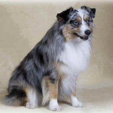 Puppyfind Toy Australian Shepherd Puppies For Sale