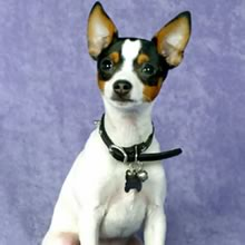 Toy Fox Terrier Photos