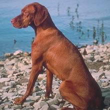 Vizsla Photos