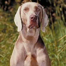 Puppyfind Weimaraner Puppies For Sale