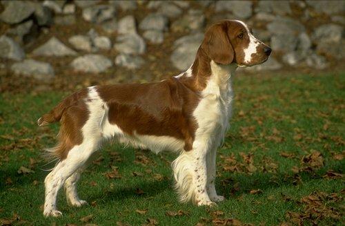 Welsh Springer Spaniel Pictures
