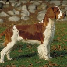 Welsh Springer Spaniel Photos