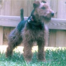 Welsh Terrier Photos
