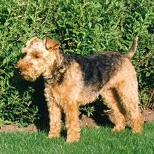 Welsh Terrier Rescue Florida Featured Breed  Welsh Terrier