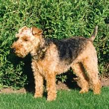 PuppyFind | Welsh Terrier Puppies for Sale