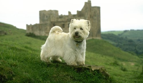 West Highland White Terrier pictures...