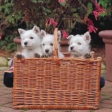 West Highland White Terrier Photo Gallery...