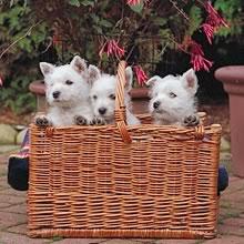 Puppyfind West Highland White Terrier Puppies For Sale