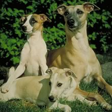 Whippet Photos