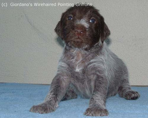 Wirehaired Pointing Griffon Pictures (666555)