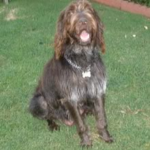 Wirehaired Pointing Griffon Photos