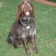 Wirehaired Pointing Griffon Dog Breed Profile...
