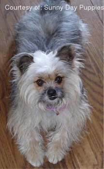 Yorkie Apso Pictures 0rg426h883