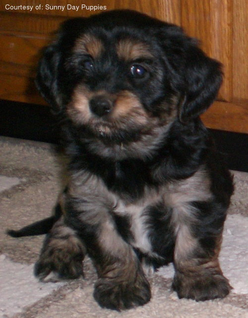 Yorkie Apso Pictures
