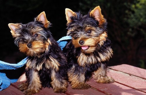 Yorkshire Terrier pictures...