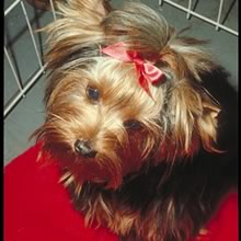 Yorkshire Terrier Photos