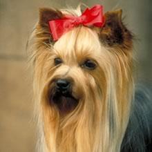 Puppyfind Yorkie Terrier Puppies For Sale