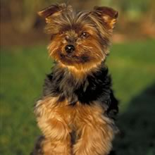 Yorkie Photos