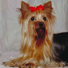 Yorkshire Terrier Photo Gallery...