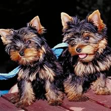 Toy Yorkie Photos