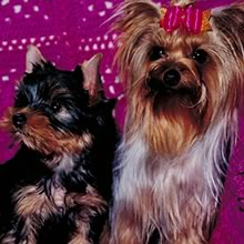 Yorkie Terrier Photos