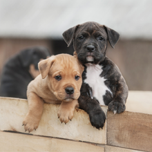 Puppies for sale in Aline