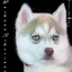 Siberian Husky Puppy for Sale...