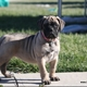 Bullmastiff puppy for sale