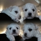 Bichon Frise Puppy for Sale...