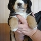 Bernese Mountain Dog Puppy for Sale...