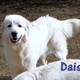 Great Pyrenees puppy for sale
