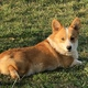 Pembroke Welsh Corgi puppy for sale
