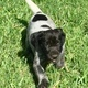 German Shorthaired Pointer Puppy for Sale...
