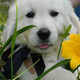 English Golden Retrievers puppy for sale
